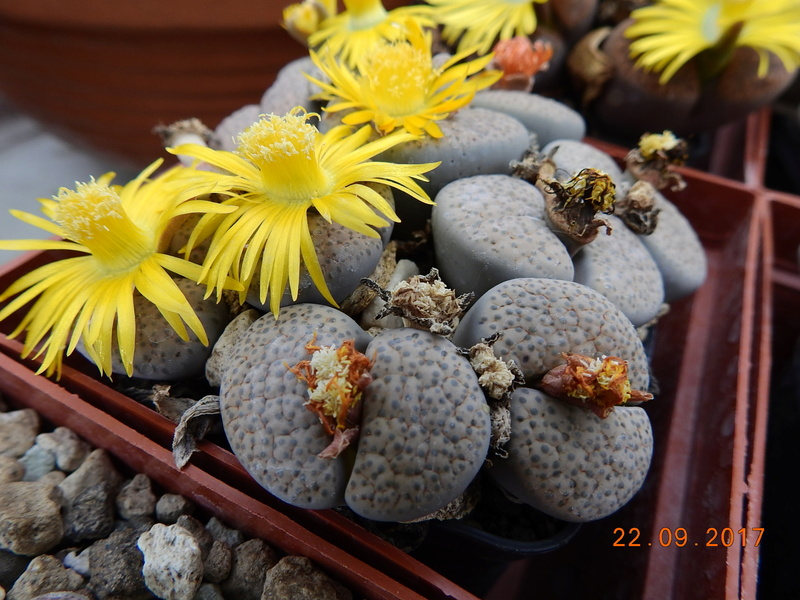Cacti and Sukkulent in Köln, every day new flowers in the greenhouse Part 175 Bild2414