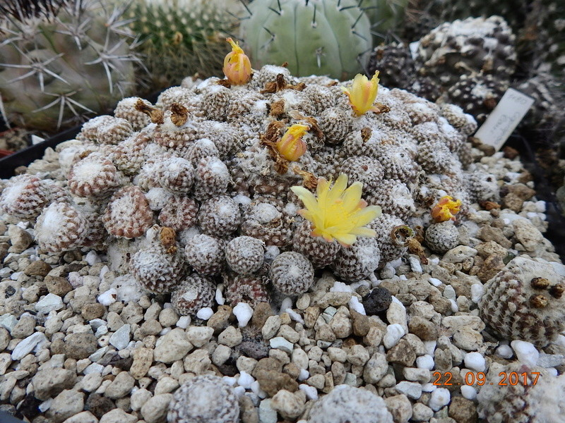 Cacti and Sukkulent in Köln, every day new flowers in the greenhouse Part 175 Bild2417