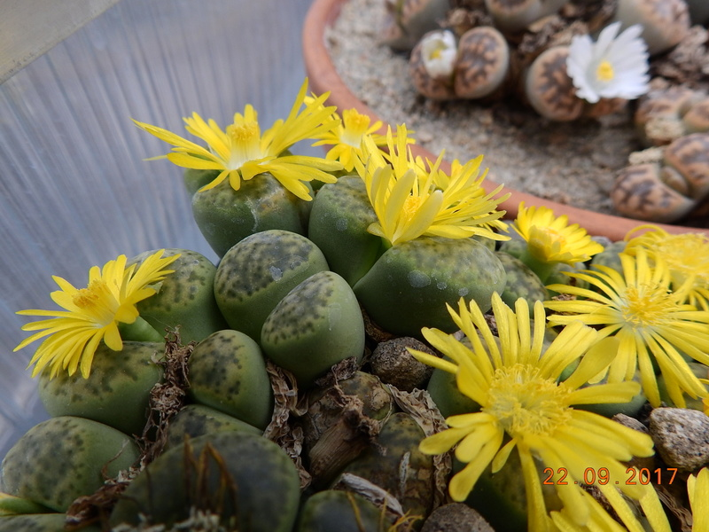 Cacti and Sukkulent in Köln, every day new flowers in the greenhouse Part 175 Bild2431
