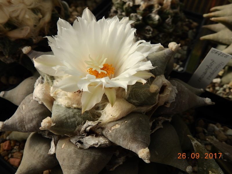 Cacti and Sukkulent in Köln, every day new flowers in the greenhouse Part 175 Bild2450
