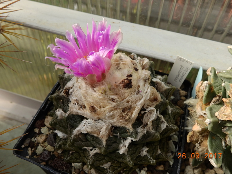 Cacti and Sukkulent in Köln, every day new flowers in the greenhouse Part 175 Bild2451