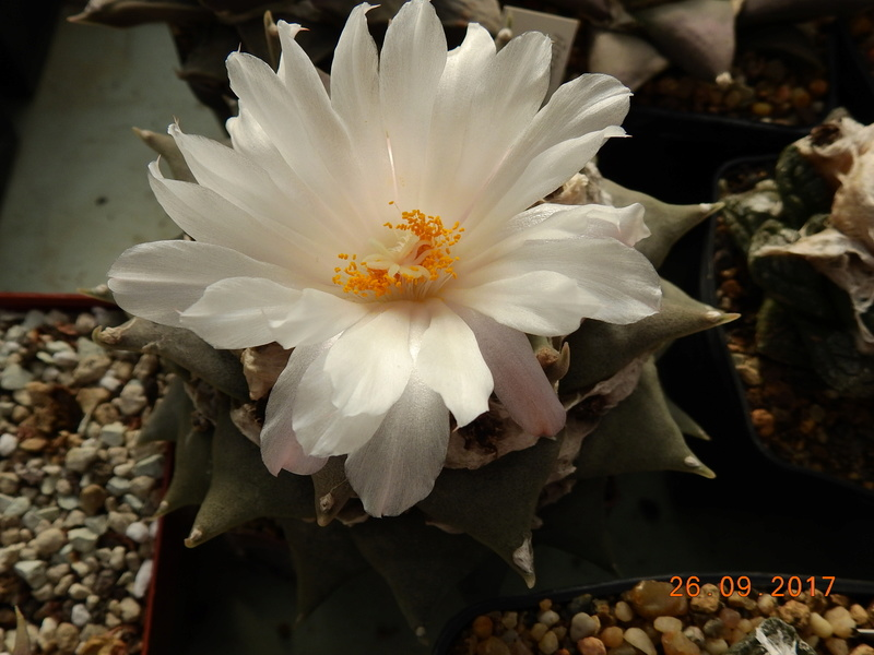 Cacti and Sukkulent in Köln, every day new flowers in the greenhouse Part 175 Bild2455
