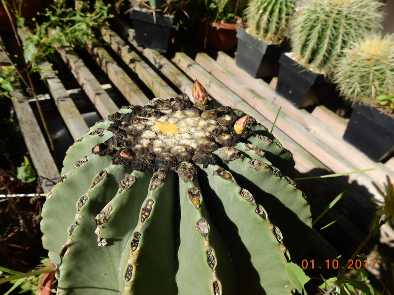 Cacti and Sukkulent in Köln, every day new flowers in the greenhouse Part 177 Bild2560