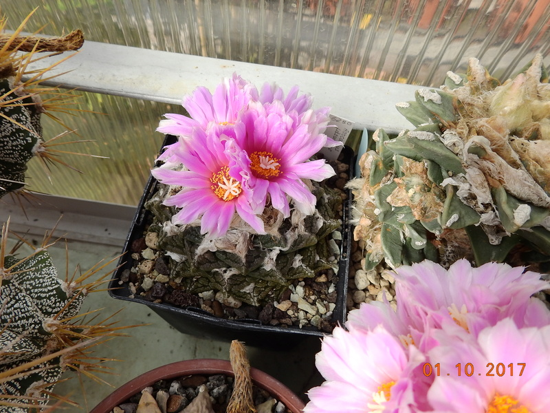 Cacti and Sukkulent in Köln, every day new flowers in the greenhouse Part 177 Bild2573