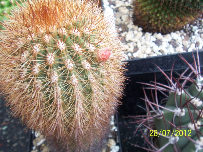 Cacti and Sukkulent in Köln, every day new flowers in the greenhouse Part 17   Bild_102