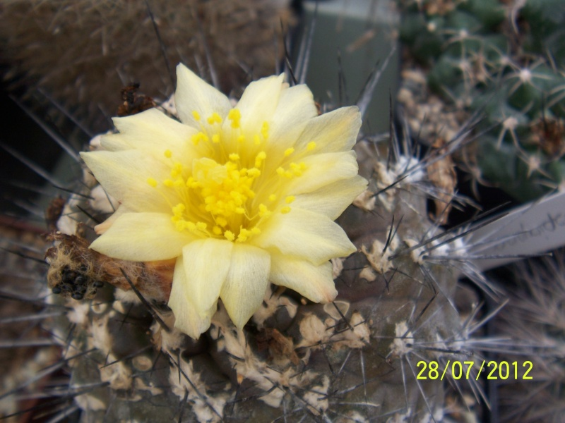 Cacti and Sukkulent in Köln, every day new flowers in the greenhouse Part 17   Bild_123