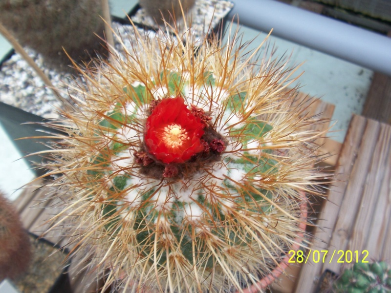 Cacti and Sukkulent in Köln, every day new flowers in the greenhouse Part 17   Bild_125