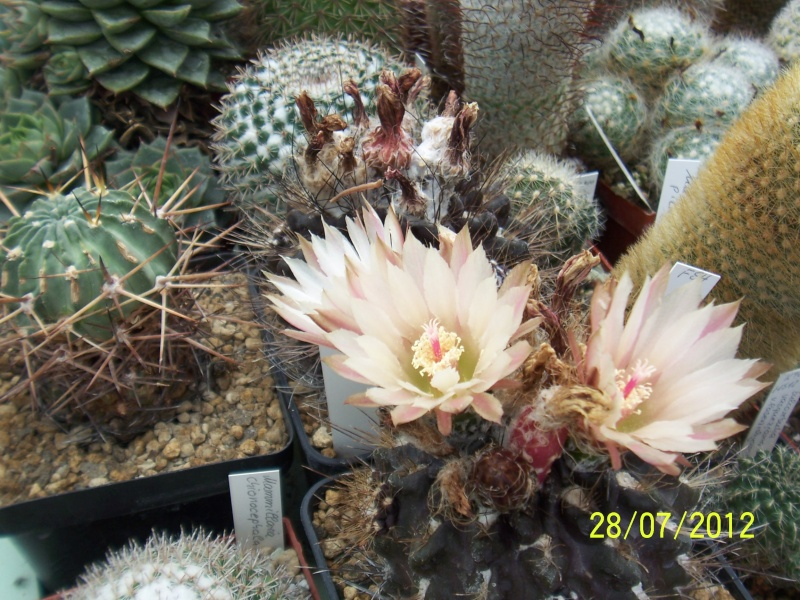 Cacti and Sukkulent in Köln, every day new flowers in the greenhouse Part 17   Bild_128
