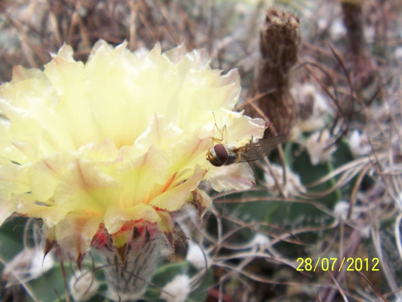 Cacti and Sukkulent in Köln, every day new flowers in the greenhouse Part 17   Bild_133