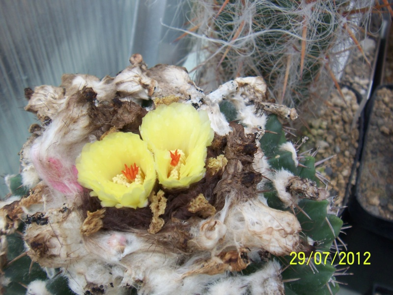 Cacti and Sukkulent in Köln, every day new flowers in the greenhouse Part 18 Bild_140