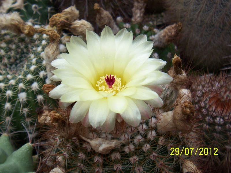 Cacti and Sukkulent in Köln, every day new flowers in the greenhouse Part 18 Bild_145
