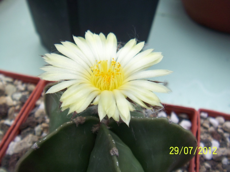 Cacti and Sukkulent in Köln, every day new flowers in the greenhouse Part 18 Bild_147
