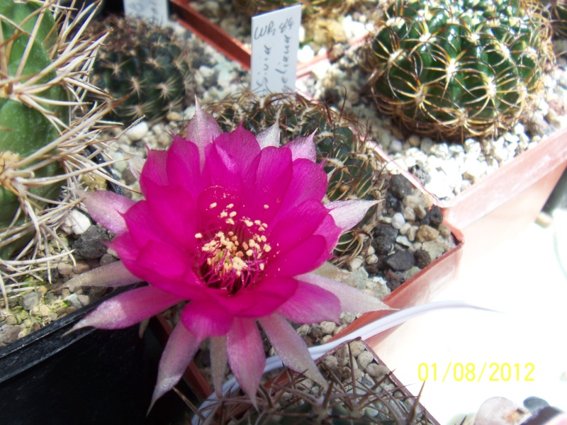 Cacti and Sukkulent in Köln, every day new flowers in the greenhouse Part 19 Bild_183