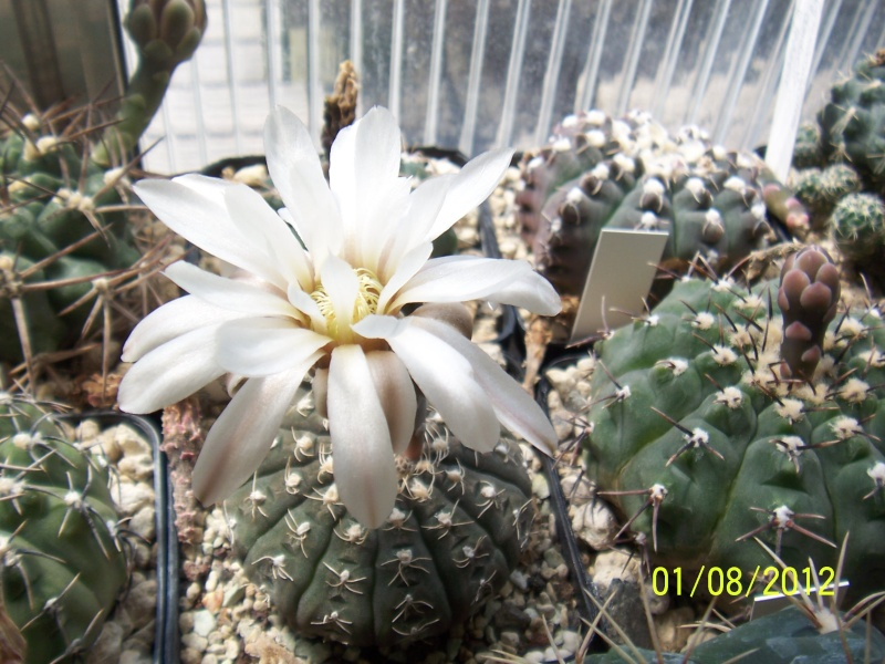 Cacti and Sukkulent in Köln, every day new flowers in the greenhouse Part 19 Bild_191