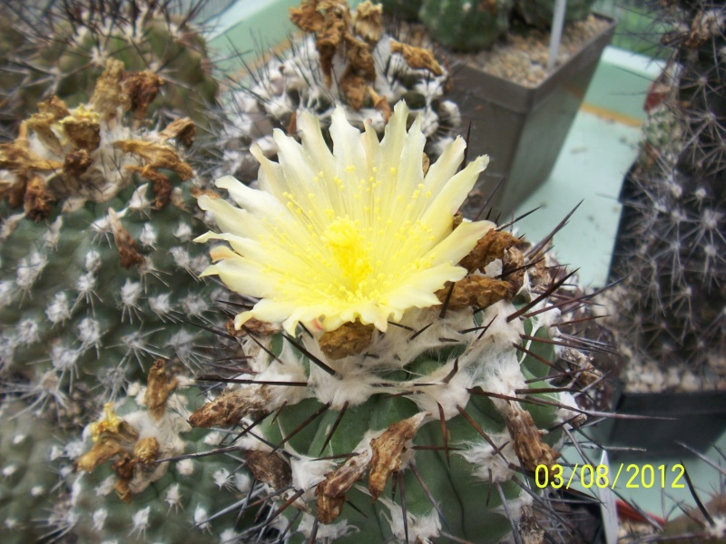 Cacti and Sukkulent in Köln, every day new flowers in the greenhouse Part 20  Bild_204
