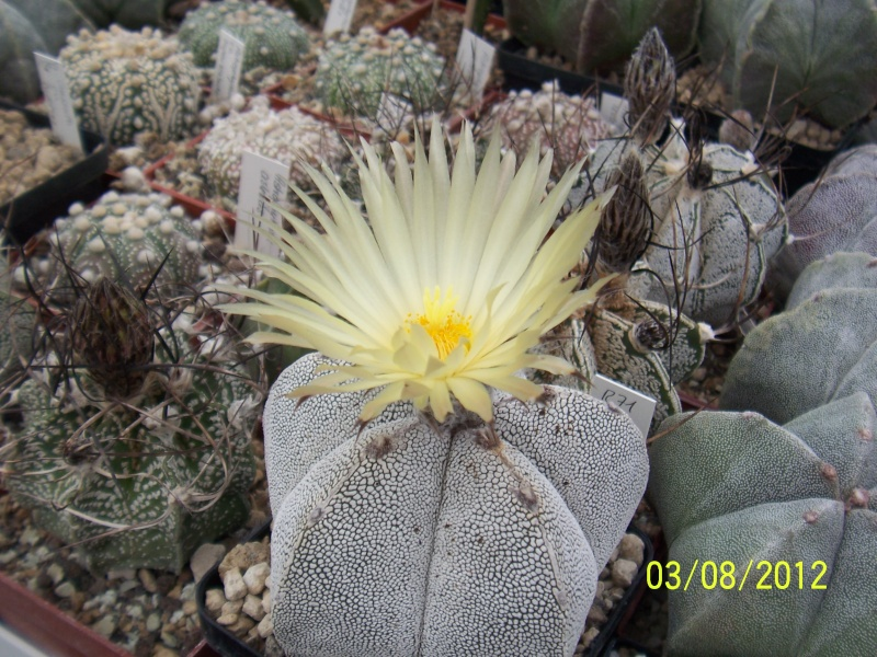 Cacti and Sukkulent in Köln, every day new flowers in the greenhouse Part 20  Bild_216