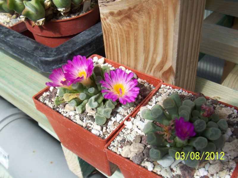Cacti and Sukkulent in Köln, every day new flowers in the greenhouse Part 20  Bild_225