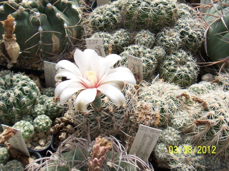 Cacti and Sukkulent in Köln, every day new flowers in the greenhouse Part 20  Bild_227