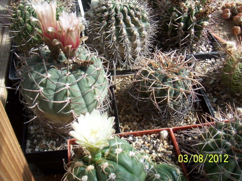 Cacti and Sukkulent in Köln, every day new flowers in the greenhouse Part 20  Bild_232