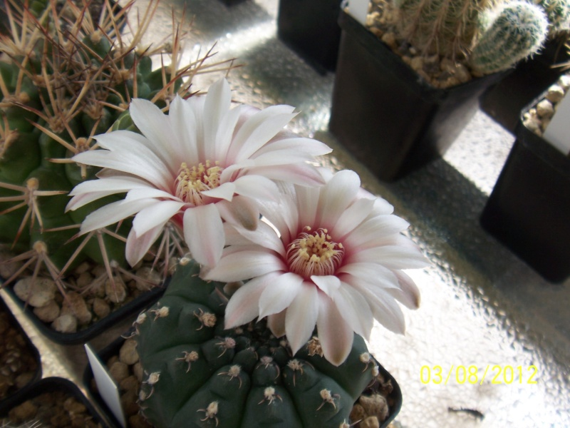 Cacti and Sukkulent in Köln, every day new flowers in the greenhouse Part 20  Bild_233