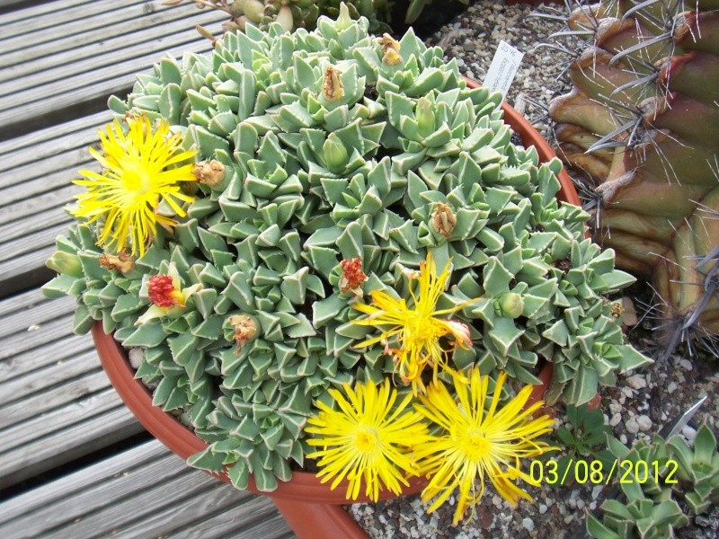 Cacti and Sukkulent in Köln, every day new flowers in the greenhouse Part 20  Bild_240