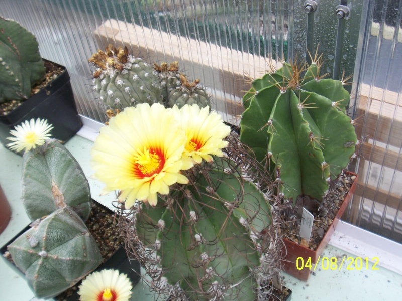 Cacti and Sukkulent in Köln, every day new flowers in the greenhouse Part 21   Bild_243