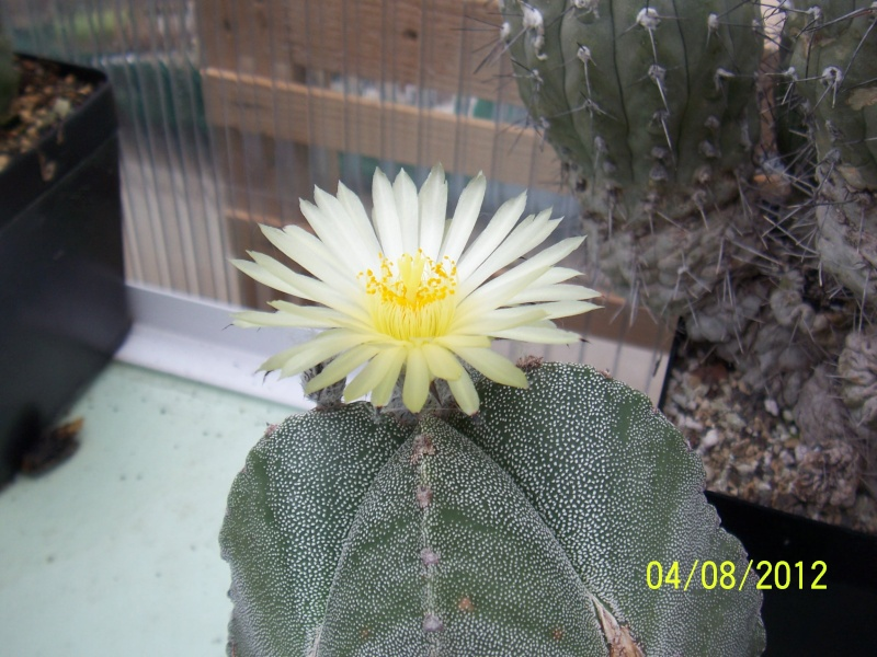 Cacti and Sukkulent in Köln, every day new flowers in the greenhouse Part 21   Bild_244