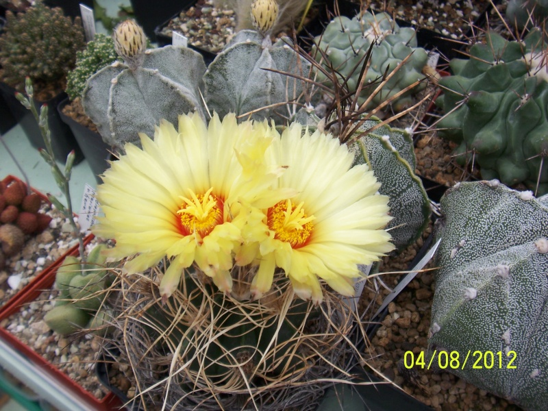 Cacti and Sukkulent in Köln, every day new flowers in the greenhouse Part 21   Bild_245