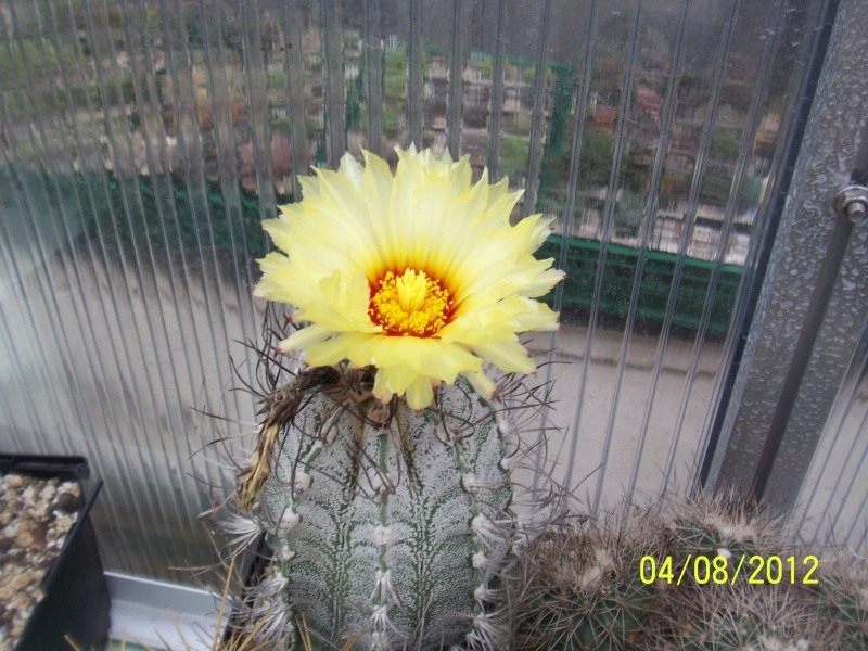 Cacti and Sukkulent in Köln, every day new flowers in the greenhouse Part 21   Bild_246