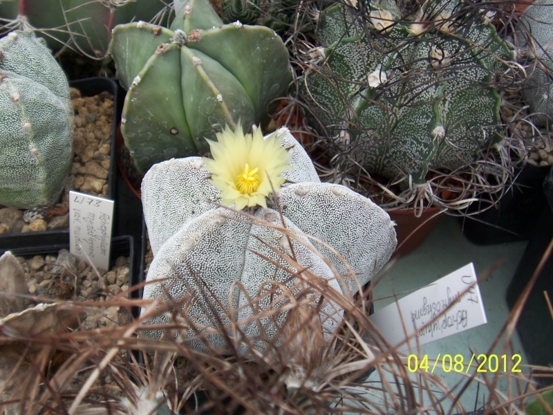 Cacti and Sukkulent in Köln, every day new flowers in the greenhouse Part 21   Bild_248