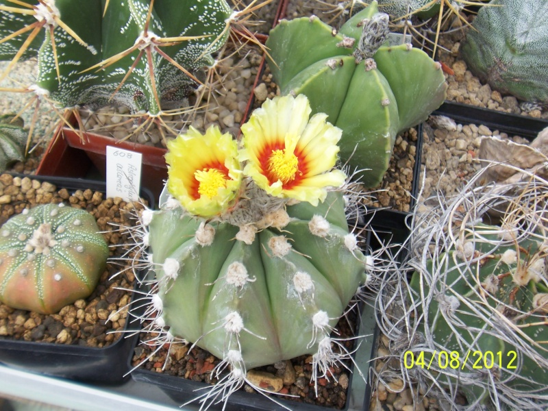 Cacti and Sukkulent in Köln, every day new flowers in the greenhouse Part 21   Bild_249