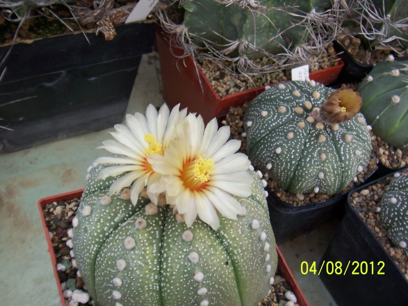 Cacti and Sukkulent in Köln, every day new flowers in the greenhouse Part 21   Bild_250