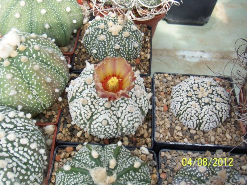 Cacti and Sukkulent in Köln, every day new flowers in the greenhouse Part 21   Bild_254
