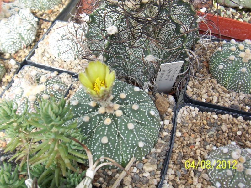 Cacti and Sukkulent in Köln, every day new flowers in the greenhouse Part 21   Bild_255