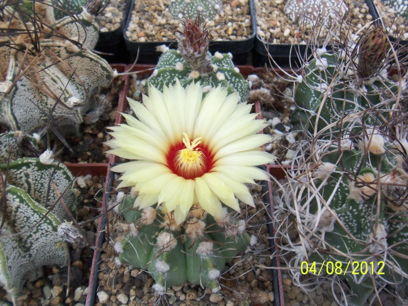 Cacti and Sukkulent in Köln, every day new flowers in the greenhouse Part 21   Bild_256