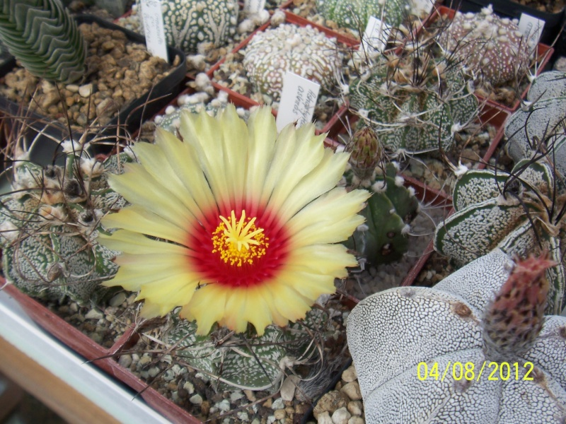 Cacti and Sukkulent in Köln, every day new flowers in the greenhouse Part 21   Bild_257