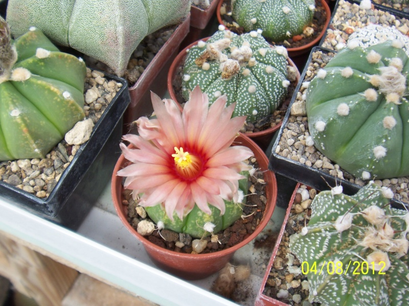 Cacti and Sukkulent in Köln, every day new flowers in the greenhouse Part 21   Bild_258