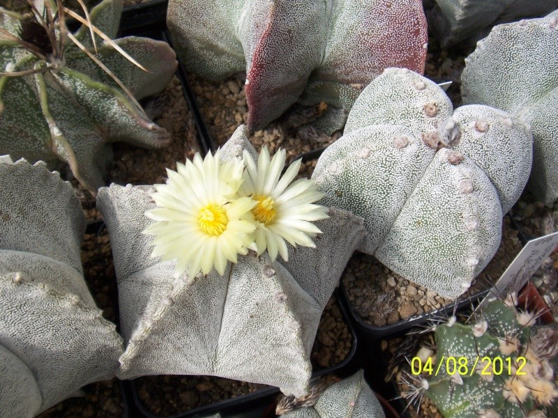Cacti and Sukkulent in Köln, every day new flowers in the greenhouse Part 21   Bild_260