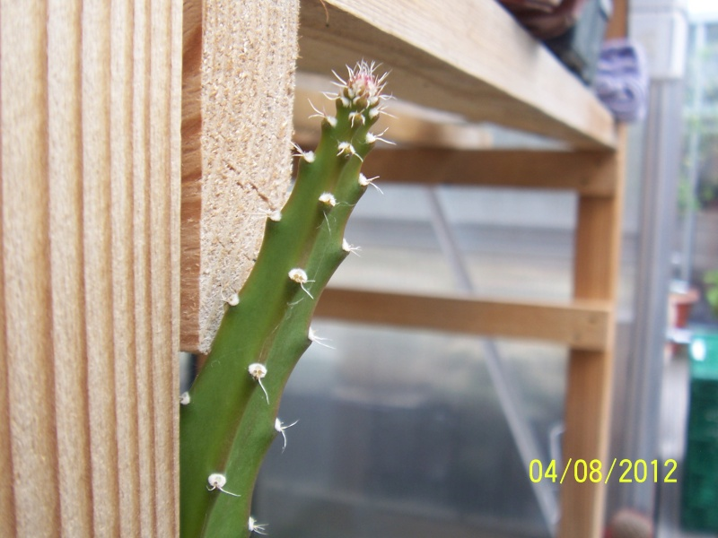 Cacti and Sukkulent in Köln, every day new flowers in the greenhouse Part 21   Bild_263