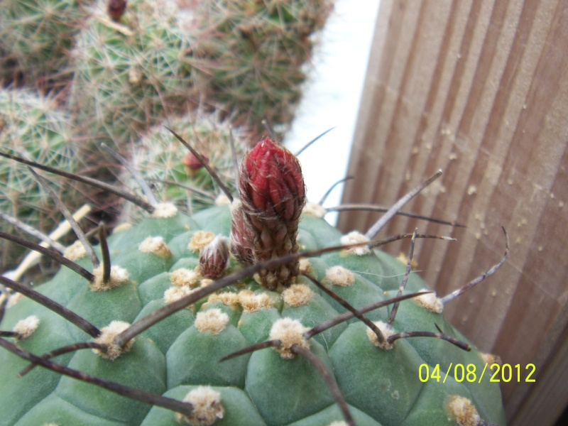 Cacti and Sukkulent in Köln, every day new flowers in the greenhouse Part 21   Bild_265