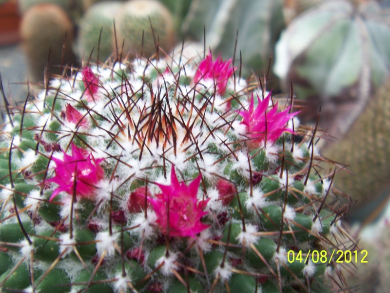 Cacti and Sukkulent in Köln, every day new flowers in the greenhouse Part 21   Bild_266