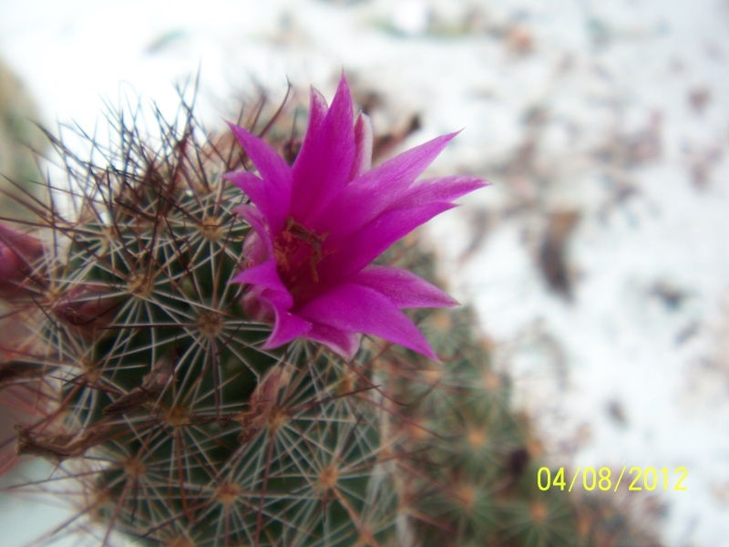 Cacti and Sukkulent in Köln, every day new flowers in the greenhouse Part 21   Bild_267