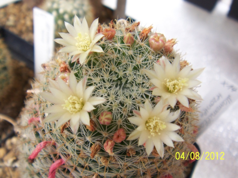 Cacti and Sukkulent in Köln, every day new flowers in the greenhouse Part 21   Bild_268