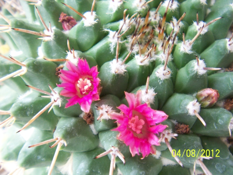 Cacti and Sukkulent in Köln, every day new flowers in the greenhouse Part 21   Bild_269