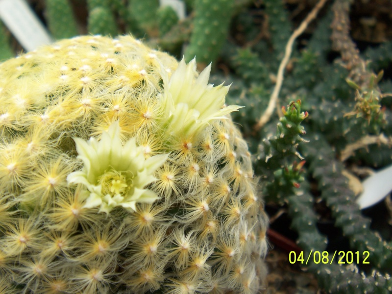Cacti and Sukkulent in Köln, every day new flowers in the greenhouse Part 21   Bild_270