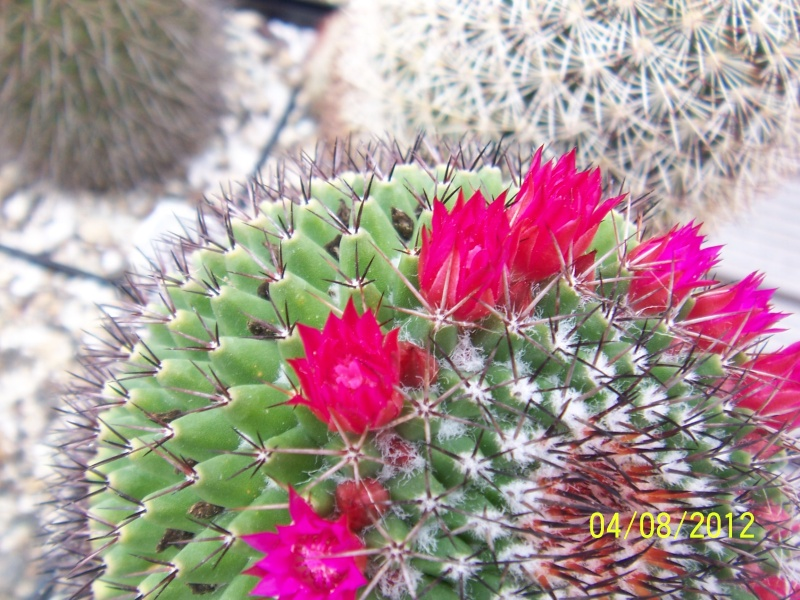 Cacti and Sukkulent in Köln, every day new flowers in the greenhouse Part 21   Bild_271