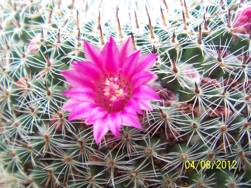 Cacti and Sukkulent in Köln, every day new flowers in the greenhouse Part 21   Bild_273
