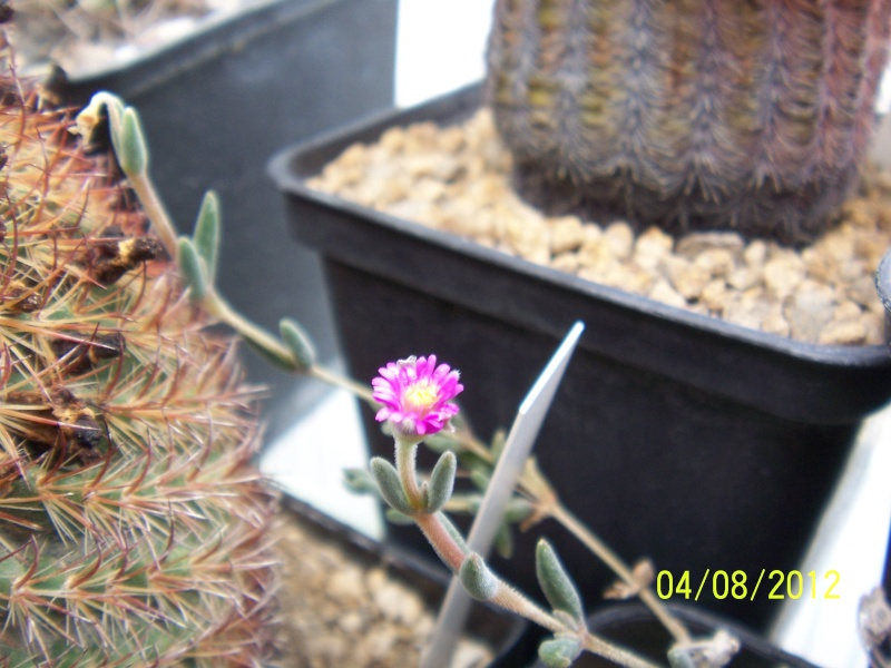Cacti and Sukkulent in Köln, every day new flowers in the greenhouse Part 21   Bild_274