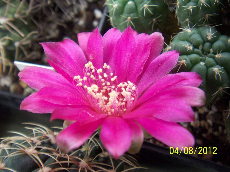 Cacti and Sukkulent in Köln, every day new flowers in the greenhouse Part 21   Bild_277