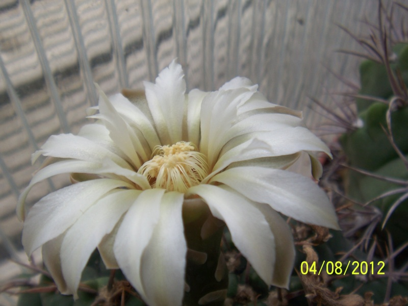 Cacti and Sukkulent in Köln, every day new flowers in the greenhouse Part 21   Bild_280